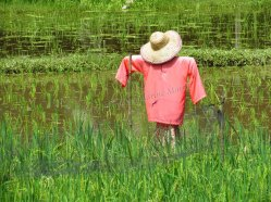 Ile Langkawi - Pantai Cenang - Laman Padi, champs de riz, épouventail