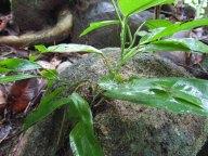 Ile Langkawi - Petite chute d'eau perdue, végétation qui pousse sur une pierre