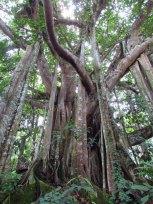 Environs de Pyin Oo Lwin - Arbre 'Bonyan'