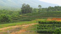 Lac Inle - 'Red Mountain', vignoble, vignes