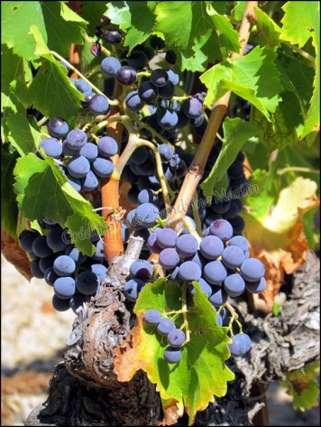 Vaucluse - Les Dentelles de Montmirail - Les vignes, grappe de raisins