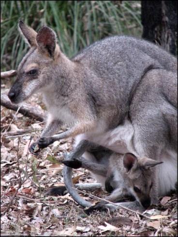Brisbane - Daisy Hill Koala Reserve, kangourous