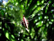 Cairns - Jardin botanique, araignée