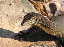 Environs Darwin - Litchfield National Park - Buley Rock Hole, lézard