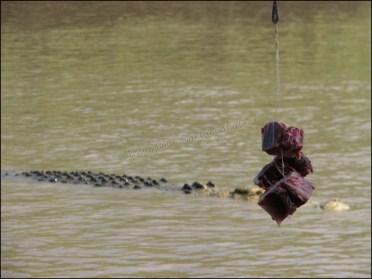 Environs Darwin - Litchfield National Park - Jumping crocodile - Piège à touristes
