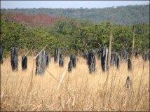 Environs Darwin - Litchfield National Park - Termitières