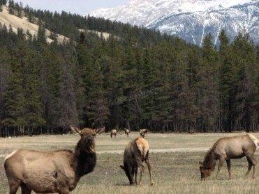 Parc national de Jasper - Elan dans Jasper