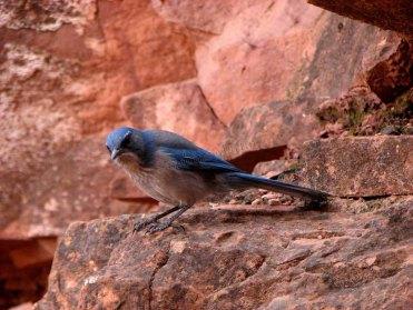 Arizona - Parc National Grand Canyon - Bright Angel Trail, oiseau