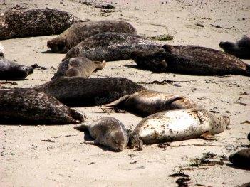 Californie - Monterey - Carmel by the sea, phoques