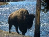 Wyoming - Yellowstone - Sur la route entre Madison et Old Faithful - Bison