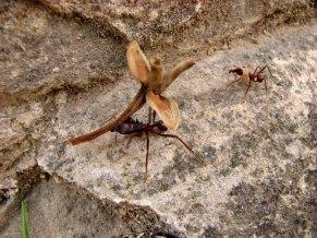 Oaxaca - Monte Alban, fourmi