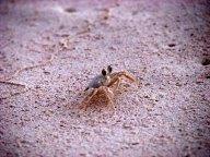 Quintana Roo - Tulum - Réserve de la biosphere Sian Ka An, crabe