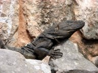 Yucatan - Uxmal - Pyramides, gros lézard