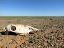 Sur la route du Monastère 'Ongi', squelette de cheval