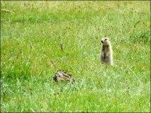 Sur la route entre Mörön et lac Blanc, marmotte