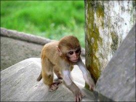 Katmandou - Au hasard des rues, animaux, singes