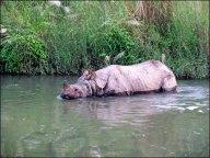Parc national de Chitwan - Balade, rhinocéros