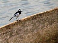 Parc national de Chitwan - Jungle, balade, oiseau 'Bergeronnette indienne'