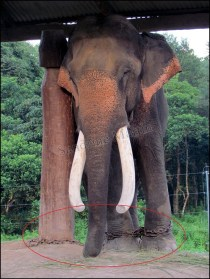 Parc national de Chitwan - Village, éléphants NOT WILD