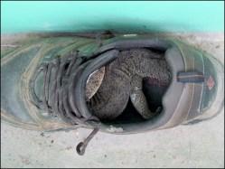 Faizabad - Ferme Mangalam - Gros lézard dans la chaussure