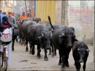 Varanasi - Au hasard des rues, buffles