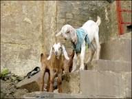 Varanasi - Ghat 'Harishchandra', chèvres