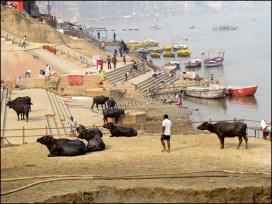Varanasi - Ghat, suppression de la boue laissée par les inondations, buffles
