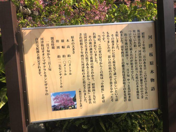 河津桜の原木