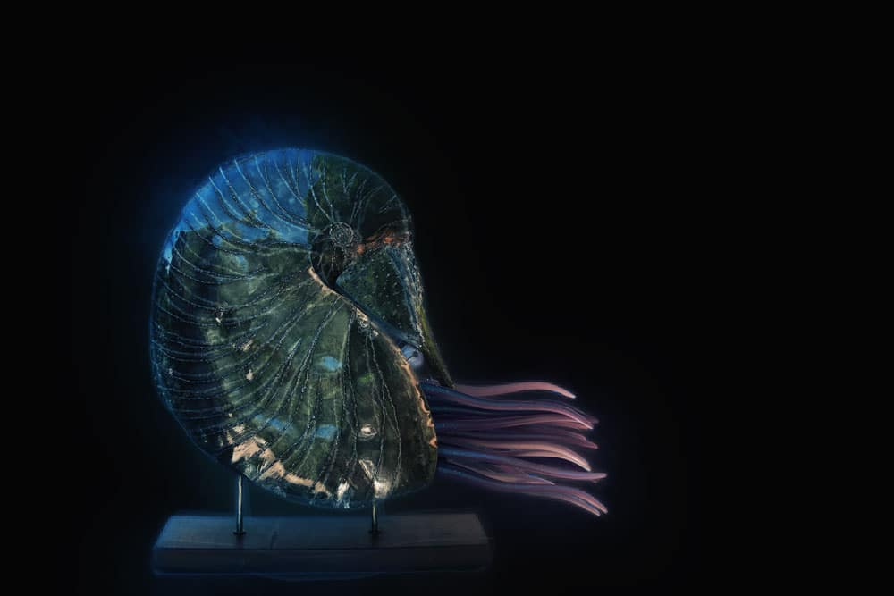 Art Metal Sculpture Nautilus on timber stand black background