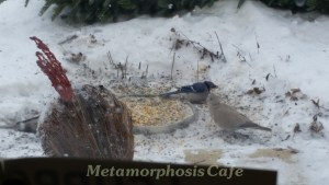 dove and bluejay