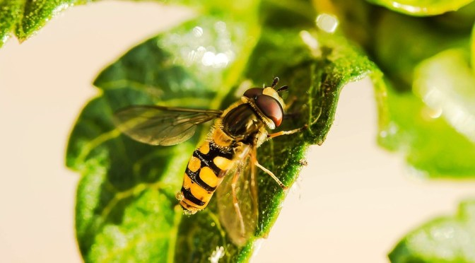 hover-fly-1672677_960_720