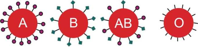 Each blood type is distinguished by a different sugar marker on the red blood cell. Cells lining the intestine also have these sugar markers. Fernando Jose V. Soares/Shutterstock.com