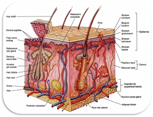 The Integumentary System | Methamphetamine