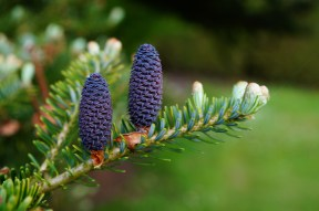 Do the Christmas trees Norway spruce and Nordmann fir share the same evolutionary fate? (Images show immature female cones.)