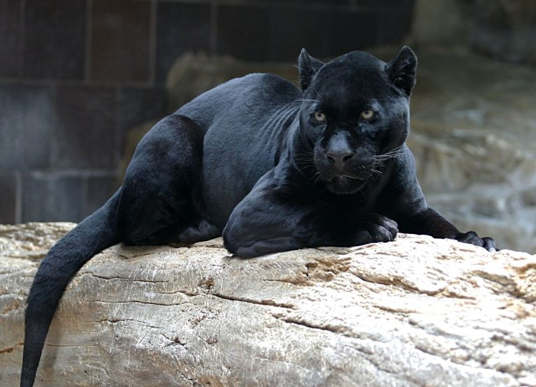 panther.jpg?fit=768%2C554