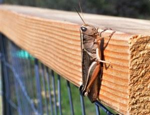 Grasshopper on Libby Creek. Photo by Sue Misao