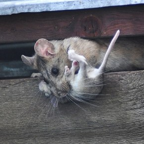 Packrat and child in a shed on Libby Creek. Photo by Sue Misao