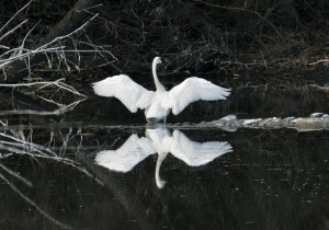 Trumpeter swan in the pond south of Twisp on the West County Road. Photo by Sue Misao