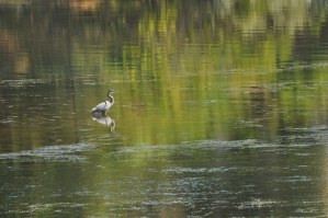 Great blue heron on Lake Pateros. Photo by Sue Misao