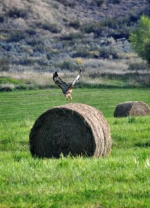 """A Methow Valley hayhawk in a field between Twisp and Carlton takes off from a bale of hay. Also, there's no such thing as a """"hayhawk."""" Photo by Sue Misao"""