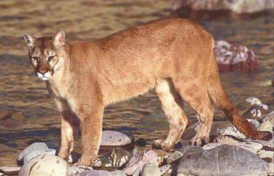 Cougar sightings continue to add up. Photo from USDA