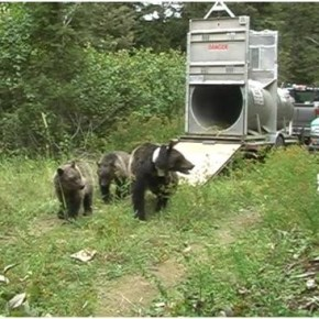 Proposal would restore grizzly bears to North Cascades ecosystem
