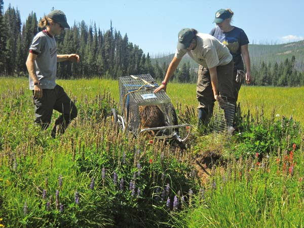 Photo courtesy of Methow Beaver Project Methow Beaver Project team members release a beaver in a high mountain meadow that has since become a new beaver colony site that holds millions of gallons of water.