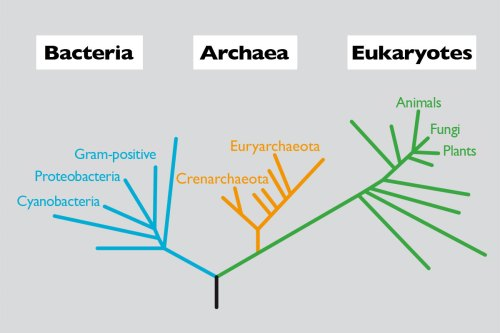 small resolution of figure 1 phylogenetic relationship between members of the three domains of cellular life based on the 16s rdna gene in turn in each domain we find the
