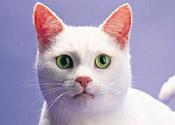 A cat: not a fan of the katzenklavier
