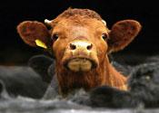 Cjd Cow