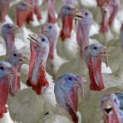 Poultry cull over bird flu fear