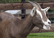 A goat: no more than ten of these, please