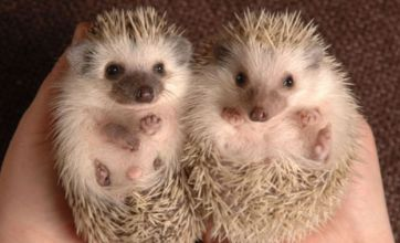 Mini-hedgehogs driving pet fans wild