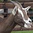 Jubilant politician slaughters goats